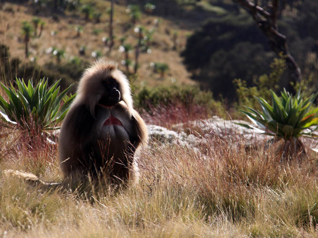 Chilada Baboon at Simien Mountain